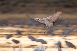 Sandhill crane in flight, wings are blurred in a long time exposure, Grus canadensis, Bosque Del Apache, Socorro, New Mexico