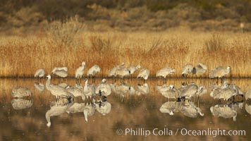 Sandhill cranes, reflected in the still waters of one of the Bosque del Apache NWR crane pools, Grus canadensis, Bosque del Apache National Wildlife Refuge, Socorro, New Mexico