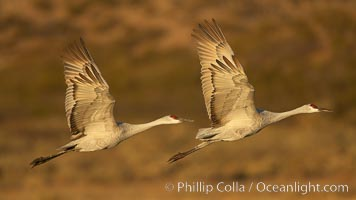 Sandhill cranes in flight, side by side in near-synchonicity, spreading their broad wides wide as they fly, Grus canadensis, Bosque del Apache National Wildlife Refuge, Socorro, New Mexico