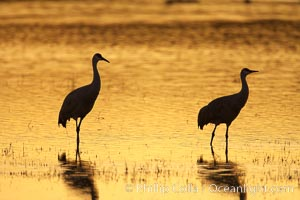 Sandhilll cranes in golden sunset light, silhouette, standing in pond, Grus canadensis, Bosque del Apache National Wildlife Refuge, Socorro, New Mexico