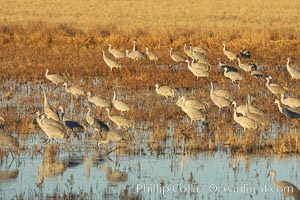 Sandhill cranes forage for corn, Grus canadensis, Bosque del Apache National Wildlife Refuge, Socorro, New Mexico