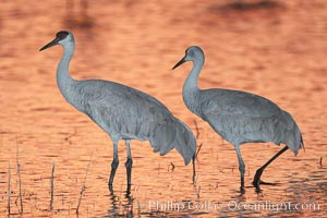 Sandhill cranes, standing in still waters with rich gold sunset light reflected around them, Grus canadensis, Bosque del Apache National Wildlife Refuge, Socorro, New Mexico