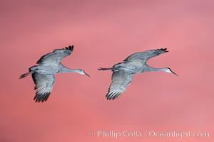 Sandhill cranes in flight at sunset, lit from below by flash, Grus canadensis, Bosque del Apache National Wildlife Refuge, Socorro, New Mexico