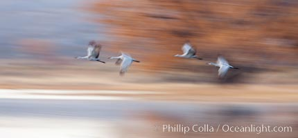 Sandhill cranes flying, wings blurred from long time exposure. Bosque Del Apache, Socorro, New Mexico, USA, Grus canadensis, natural history stock photograph, photo id 26225