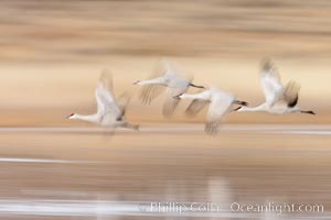 Sandhill cranes flying, wings blurred from long time exposure, Grus canadensis, Bosque Del Apache, Socorro, New Mexico