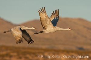 Sandhill cranes flying, sunrise, Grus canadensis, Bosque Del Apache, Socorro, New Mexico