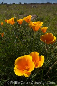 California poppies grow on Santa Rosa Plateau in spring. Santa Rosa Plateau Ecological Reserve, Murrieta, California, USA, Eschscholzia californica, Eschscholtzia californica, natural history stock photograph, photo id 24370