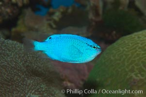Sapphire devil (blue damselfish), female/juvenile coloration, Chrysiptera cyanea