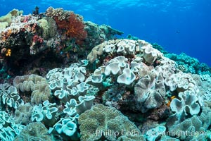 Sarcophyton leather coral on coral reef, Fiji. Vatu I Ra Passage, Bligh Waters, Viti Levu  Island, Fiji, Sarcophyton, natural history stock photograph, photo id 31692