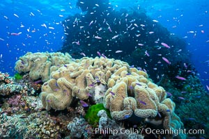Sarcophyton leather coral on diverse coral reef, Fiji. Namena Marine Reserve, Namena Island, Fiji, Pseudanthias, Sarcophyton, natural history stock photograph, photo id 31592
