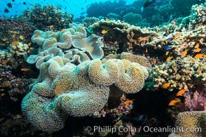 Sarcophyton leather coral on diverse coral reef, Fiji, Sarcophyton, Wakaya Island, Lomaiviti Archipelago
