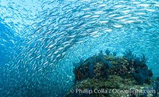 Sardines and Scad, Los Islotes, Sea of Cortez, Mexico