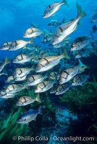 Sargo, Islas San Benito, Anisotremus davidsonii, San Benito Islands (Islas San Benito)