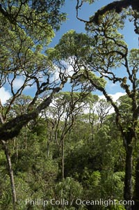 Scalesia forest, highlands of Santa Cruz Island near Twin Craters, Scalesia