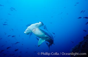 Scalloped hammerhead shark swims underwater at Cocos Island.  The hammerheads eyes and other sensor organs are placed far apart on its wide head to give the shark greater ability to sense the location of prey, Sphyrna lewini