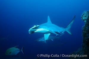Scalloped hammerhead shark. Cocos Island, Costa Rica, Sphyrna lewini, natural history stock photograph, photo id 03199