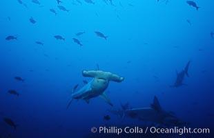 Scalloped hammerhead shark, Sphyrna lewini, Cocos Island