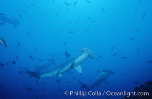 Scalloped hammerhead shark. Cocos Island, Costa Rica, Sphyrna lewini, natural history stock photograph, photo id 03208