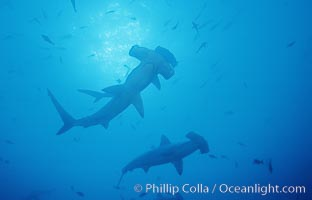 Scalloped hammerhead shark. Cocos Island, Costa Rica, Sphyrna lewini, natural history stock photograph, photo id 03215