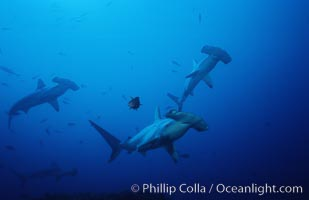 Scalloped hammerhead shark. Cocos Island, Costa Rica, Sphyrna lewini, natural history stock photograph, photo id 03218