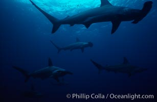 Scalloped hammerhead shark. Galapagos Islands, Ecuador, Sphyrna lewini, natural history stock photograph, photo id 01529