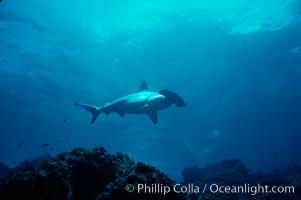 Scalloped hammerhead shark, Sphyrna lewini