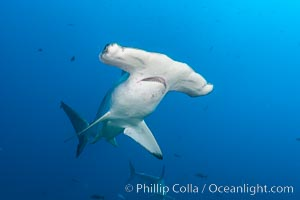 Scalloped hammerhead shark, Sphyrna lewini, Darwin Island