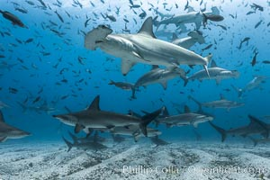 Hammerhead sharks, schooling, black and white / grainy, Sphyrna lewini, Darwin Island