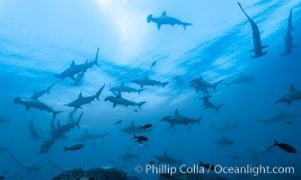 Hammerhead sharks, schooling. Wolf Island, Galapagos Islands, Ecuador, Sphyrna lewini, natural history stock photograph, photo id 16258