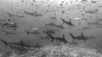 Hammerhead sharks, schooling, Sphyrna lewini, Darwin Island