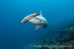Scalloped hammerhead shark. Wolf Island, Galapagos Islands, Ecuador, Sphyrna lewini, natural history stock photograph, photo id 16261