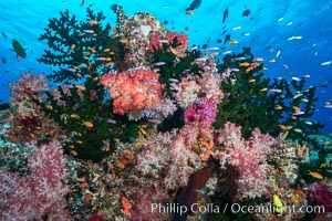 Schooling anthias fish, colorful dendronephthya soft corals and green fan coral, Fiji, Dendronephthya, Pseudanthias, Tubastrea micrantha, Namena Marine Reserve, Namena Island