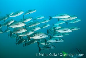 Schooling fish, Albany, James Island