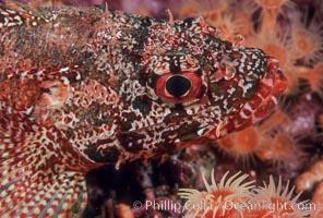Rainbow scorpionfish, juvenile, Scorpaenodes xyris, Guadalupe Island (Isla Guadalupe)