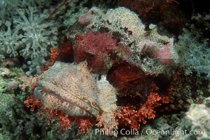 Scorpion fish, Egyptian Red Sea