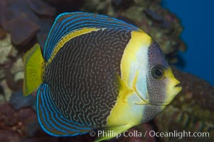 Scribbled angelfish., Chaetodontoplus duboulayi, natural history stock photograph, photo id 07921
