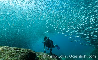 SCUBA diver, sardines and scad, Los Islotes, Sea of Cortez, Mexico, Zalophus californianus