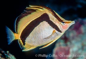 Scythe-marked butterflyfish. Guadalupe Island (Isla Guadalupe), Baja California, Mexico, Prognathodes falcifer, natural history stock photograph, photo id 02396