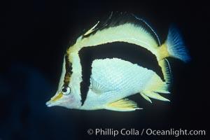 Scythe-mark butterflyfish, Prognathodes falcifer, Guadalupe Island (Isla Guadalupe)
