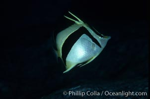 Scythe-mark butterflyfish. Guadalupe Island (Isla Guadalupe), Baja California, Mexico, Prognathodes falcifer, natural history stock photograph, photo id 04622