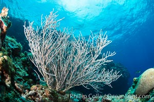 Sea fan captures passing planktonic food in ocean currents, Fiji, Ellisella, Vatu I Ra Passage, Bligh Waters, Viti Levu  Island