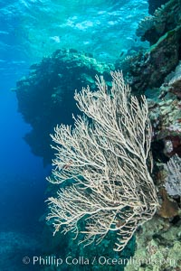 Sea fan captures passing planktonic food in ocean currents, Fiji, Ellisella