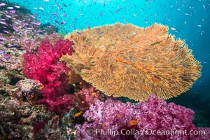 Sea fan or gorgonian on coral reef.  This gorgonian is a type of colonial alcyonacea soft coral that filters plankton from passing ocean currents, Dendronephthya, Gorgonacea, Gau Island, Lomaiviti Archipelago, Fiji