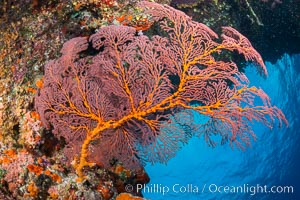 Plexauridae sea fan or gorgonian on coral reef.  This gorgonian is a type of colonial alcyonacea soft coral that filters plankton from passing ocean currents. Vatu I Ra Passage, Bligh Waters, Viti Levu  Island, Fiji, Gorgonacea, Plexauridae, natural history stock photograph, photo id 31462