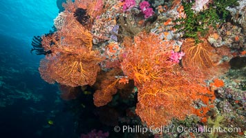 Sea fan or gorgonian on coral reef.  This gorgonian is a type of colonial alcyonacea soft coral that filters plankton from passing ocean currents. Vatu I Ra Passage, Bligh Waters, Viti Levu  Island, Fiji, Gorgonacea, natural history stock photograph, photo id 31472