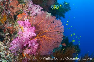 Sea fan or gorgonian on coral reef.  This gorgonian is a type of colonial alcyonacea soft coral that filters plankton from passing ocean currents, Dendronephthya, Gorgonacea, Plexauridae, Vatu I Ra Passage, Bligh Waters, Viti Levu  Island, Fiji