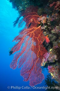 Plexauridae sea fan or gorgonian on coral reef.  This gorgonian is a type of colonial alcyonacea soft coral that filters plankton from passing ocean currents. Namena Marine Reserve, Namena Island, Fiji, Gorgonacea, Plexauridae, natural history stock photograph, photo id 31576