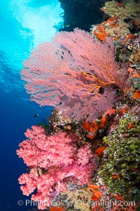 Plexauridae sea fan or gorgonian on coral reef.  This gorgonian is a type of colonial alcyonacea soft coral that filters plankton from passing ocean currents, Dendronephthya, Gorgonacea, Plexauridae, Vatu I Ra Passage, Bligh Waters, Viti Levu  Island, Fiji