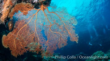 Plexauridae sea fan or gorgonian on coral reef.  This gorgonian is a type of colonial alcyonacea soft coral that filters plankton from passing ocean currents, Gorgonacea, Plexauridae, Vatu I Ra Passage, Bligh Waters, Viti Levu  Island, Fiji