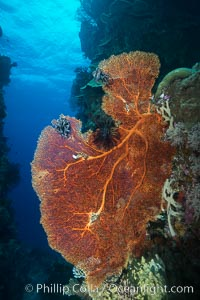 Sea fan or gorgonian on coral reef.  This gorgonian is a type of colonial alcyonacea soft coral that filters plankton from passing ocean currents, Gorgonacea, Plexauridae, Vatu I Ra Passage, Bligh Waters, Viti Levu  Island, Fiji